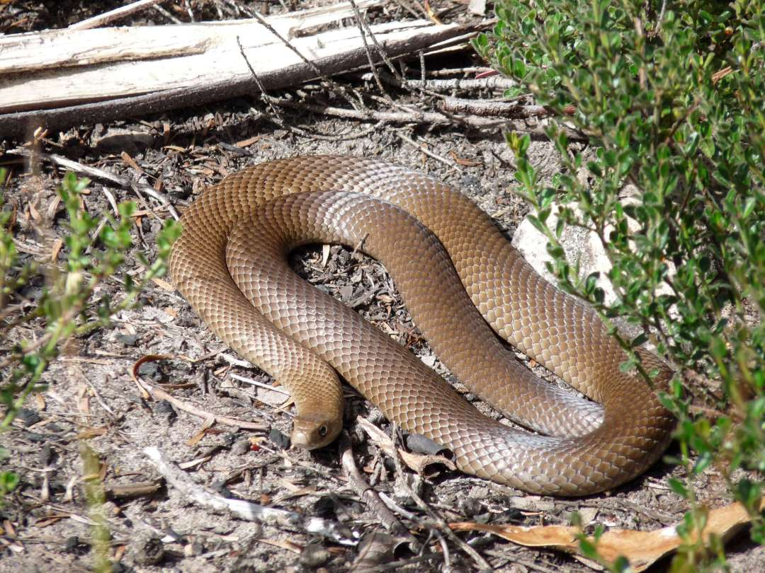 venomous_eastern_brown_snake