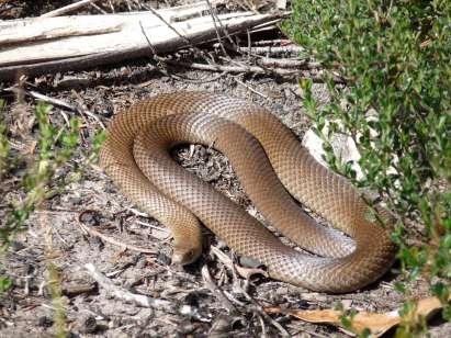 venomous_eastern_brown_snake